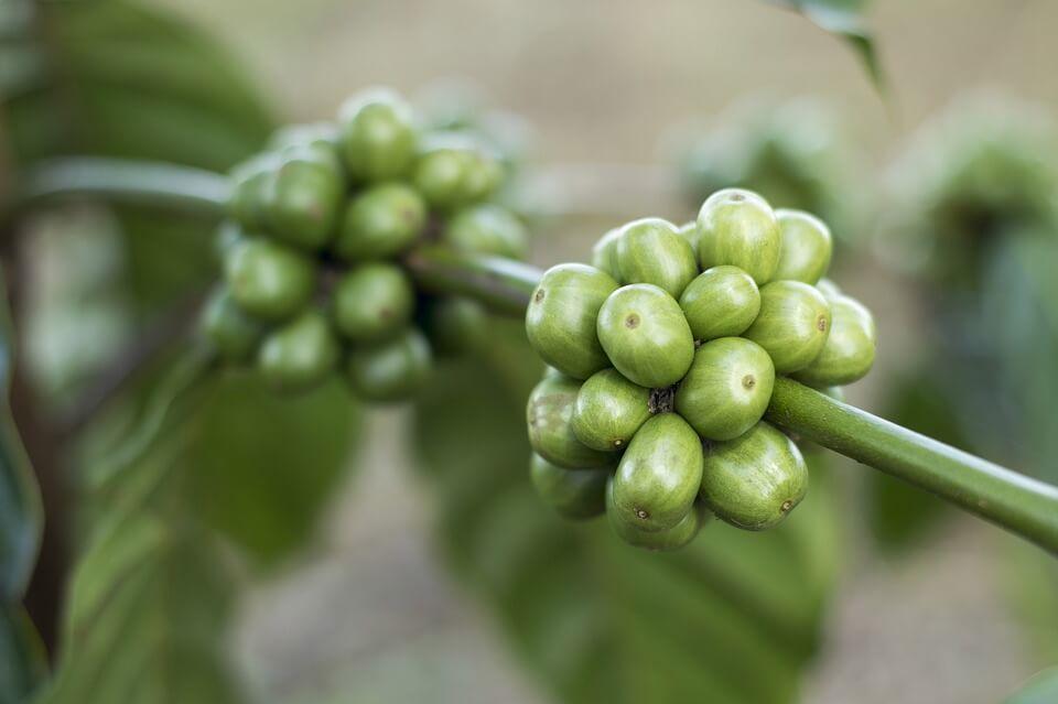 Зелений кава: чи так він хороший насправді?